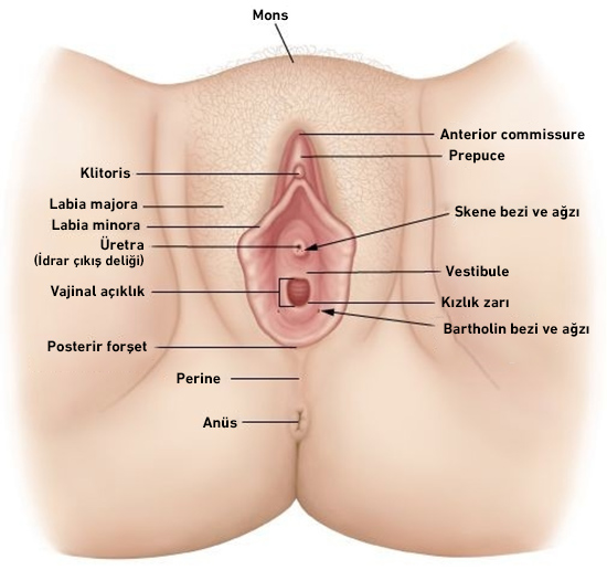 vajen anatomisi